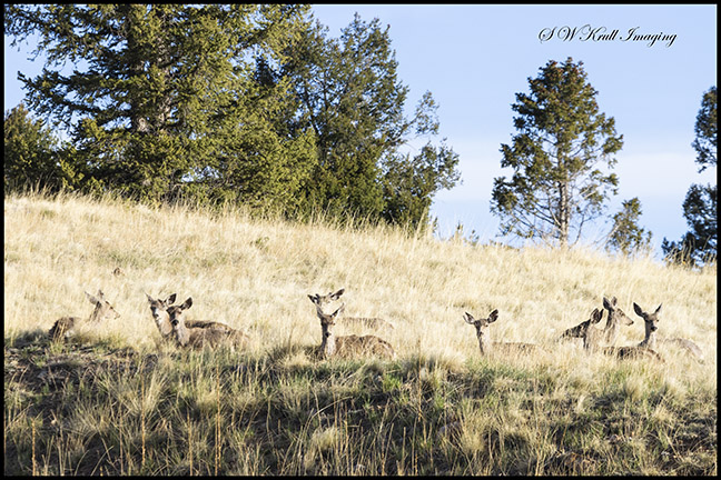 Sleepy Deer Herd