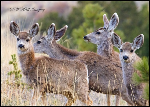 Cute Mule Deer Herd