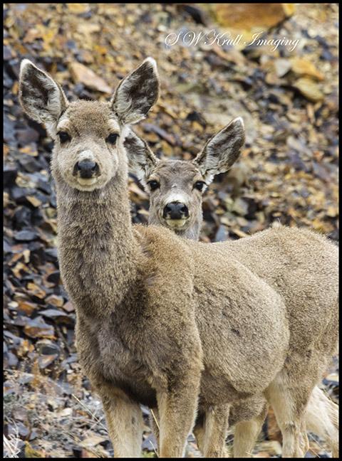 Pair of cute mule deer