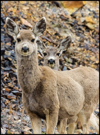 Pair of cute mule deer