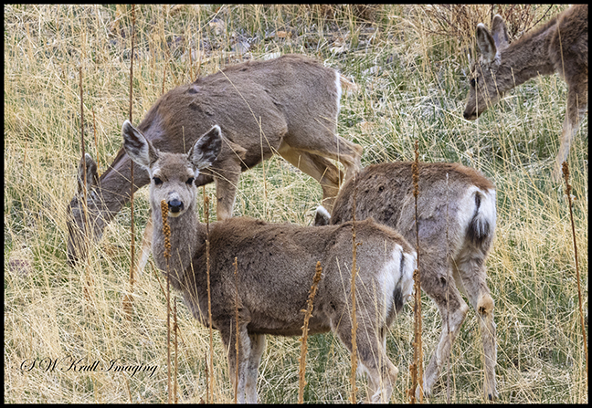 Herd of Mule Deer