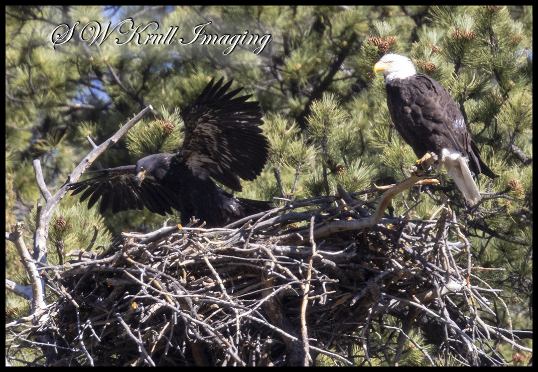 Mother Bald Eagle with Her Eaglet