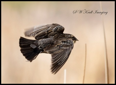 Female Redwing Black Bird