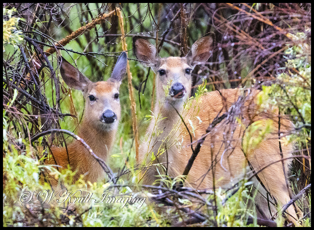 Pair of Mule Deer
