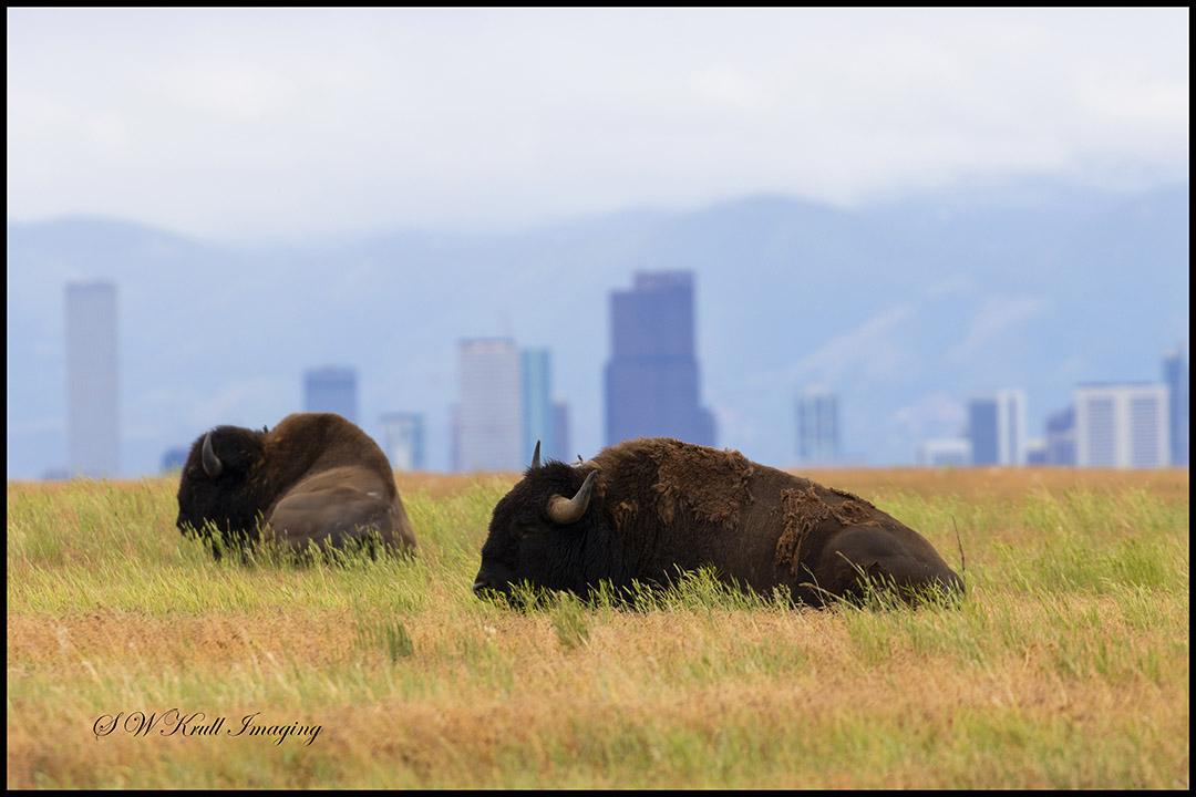 American Bison and Denver Skyline