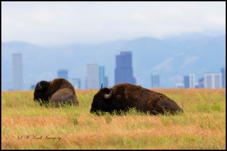 American Bison and Denver Skyline