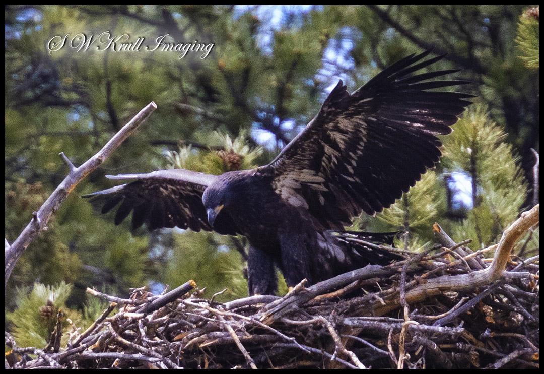 Eaglet on the Nest