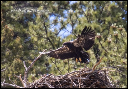 Eaglet on the Nest