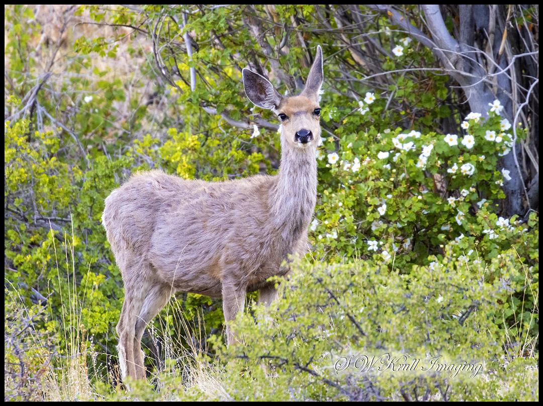 Deer at First Light