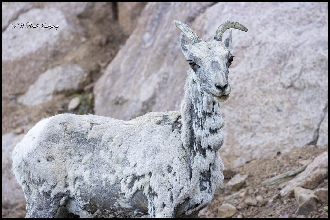 Bighorn Sheep Ewe in the Rockies