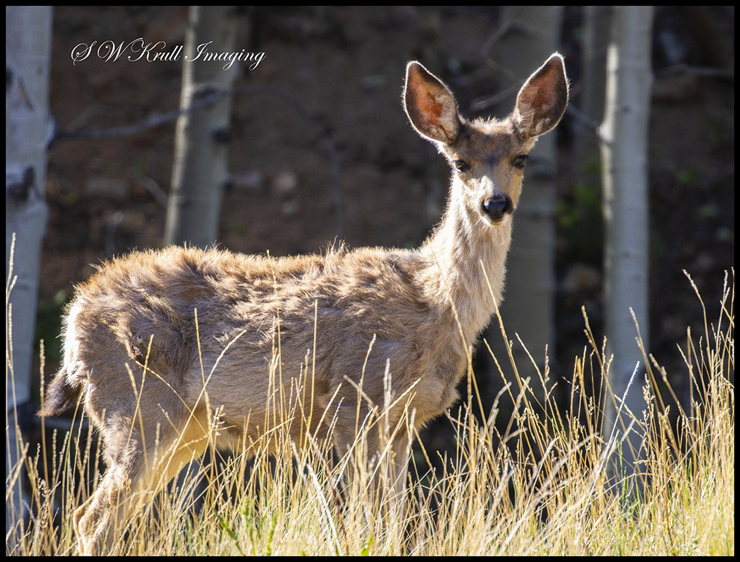 Deer in the Pike National Forest