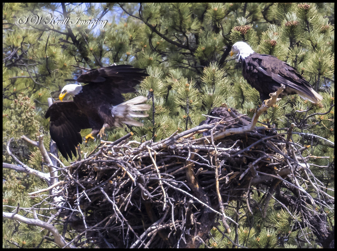 Bald Eagles in the Nest