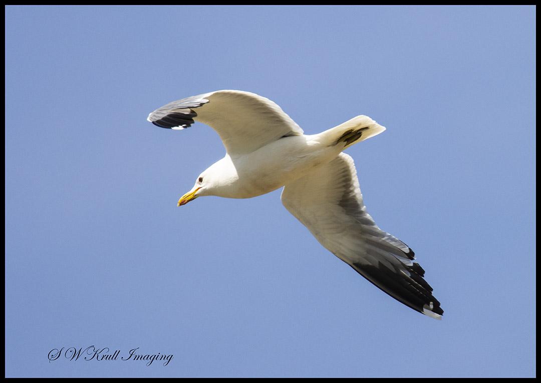 American Pelican in Flight