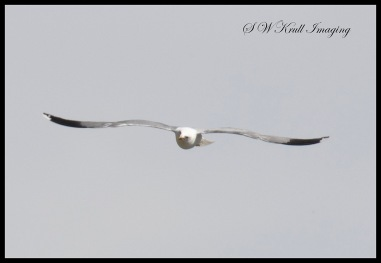 American Pelican in Flight