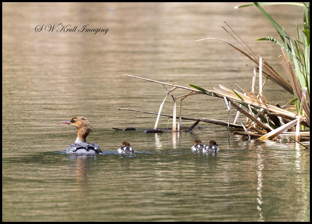 Female Common Merganser Duck and ducklings