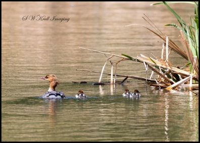 Female Common Merganser Duck and ducklings