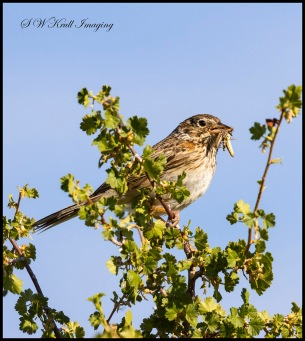 Sage Sparrow on a  Perch