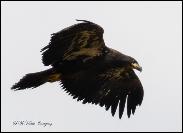 Baby Bald Eagle in Flight