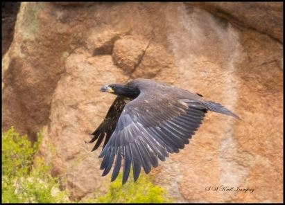 Baby Bald Eagle in Flight