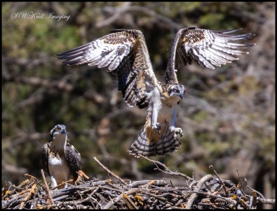 Osprey Chick Learning to Fly