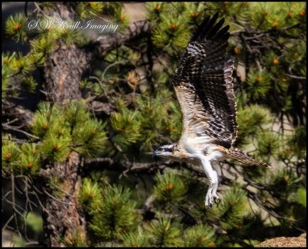 Osprey Chick First Flgiht