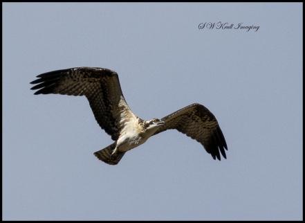 Osprey Chick First Flight