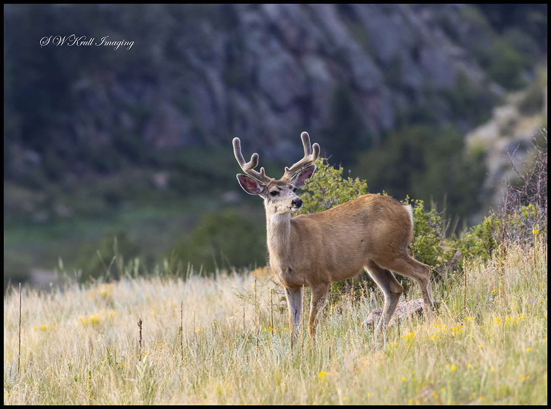 Portrait of a Mule Deer Buck