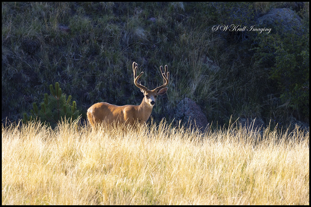 Herd of Mule Deer Bucks