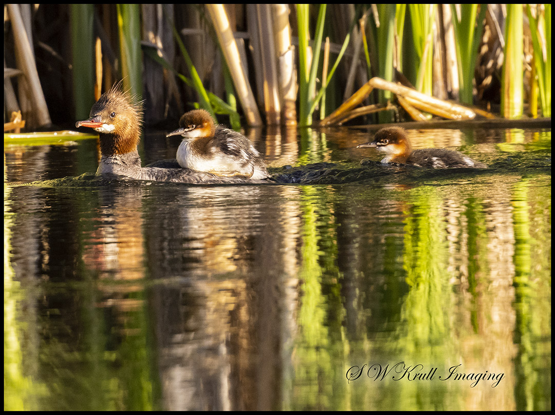 Merganser duck and ducklings