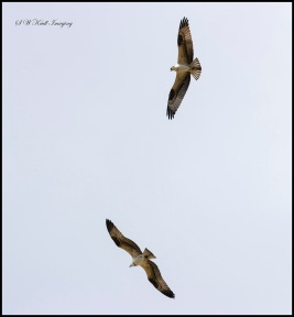 Pair of Osprey