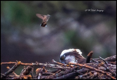 Osprey and Hummingbird