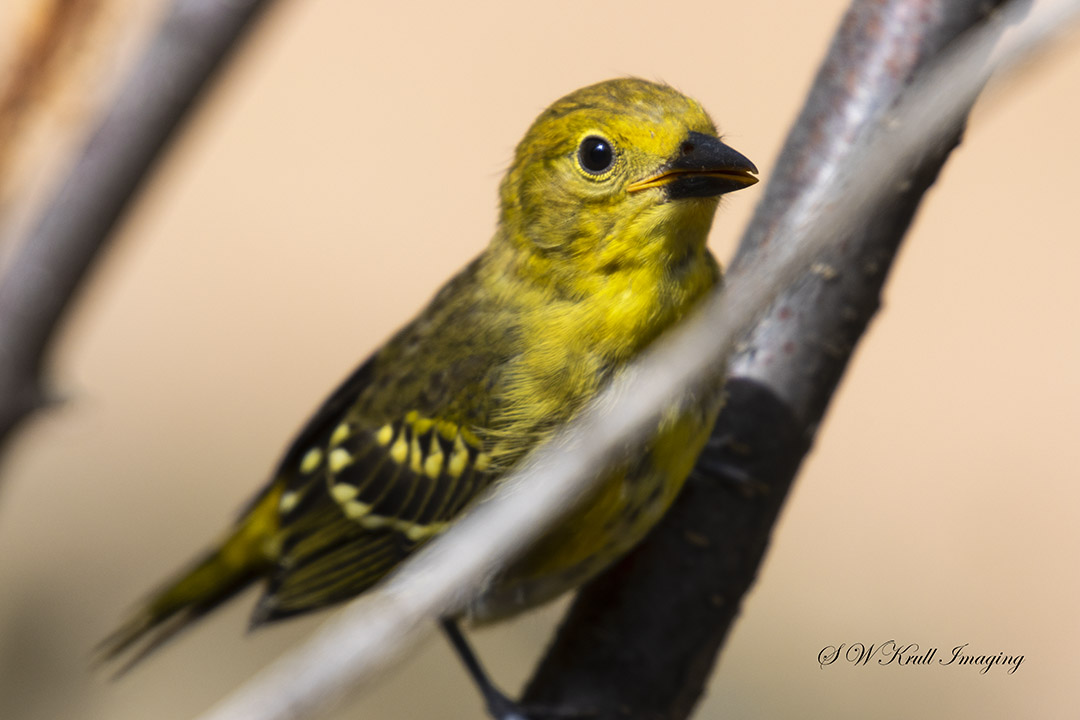 Yellow goldfinch