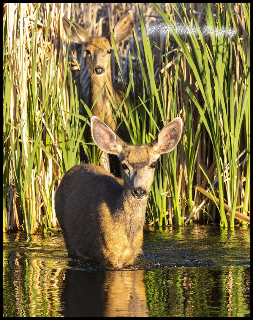 Pair of Deer at Waters Edge
