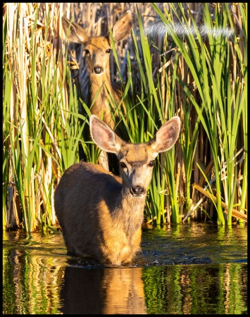Pair of Deer at Waters Edge
