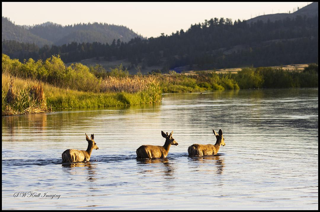 Trio of deer in the Water