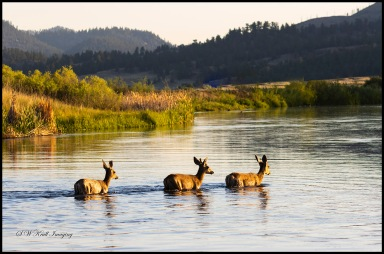 Trio of deer in the Water