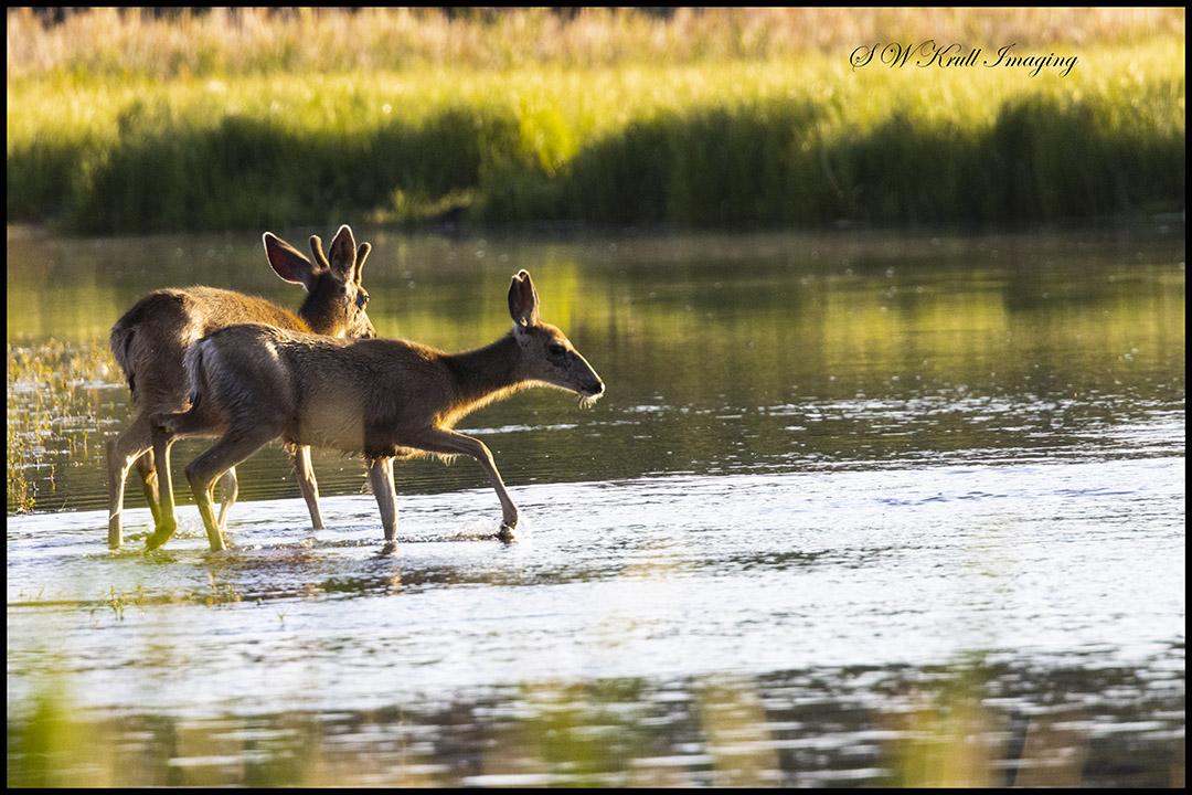 Deer at Waters Edge