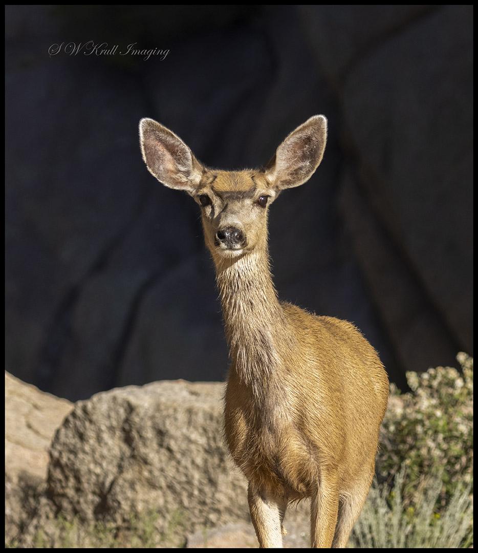 Morning Mule Deer
