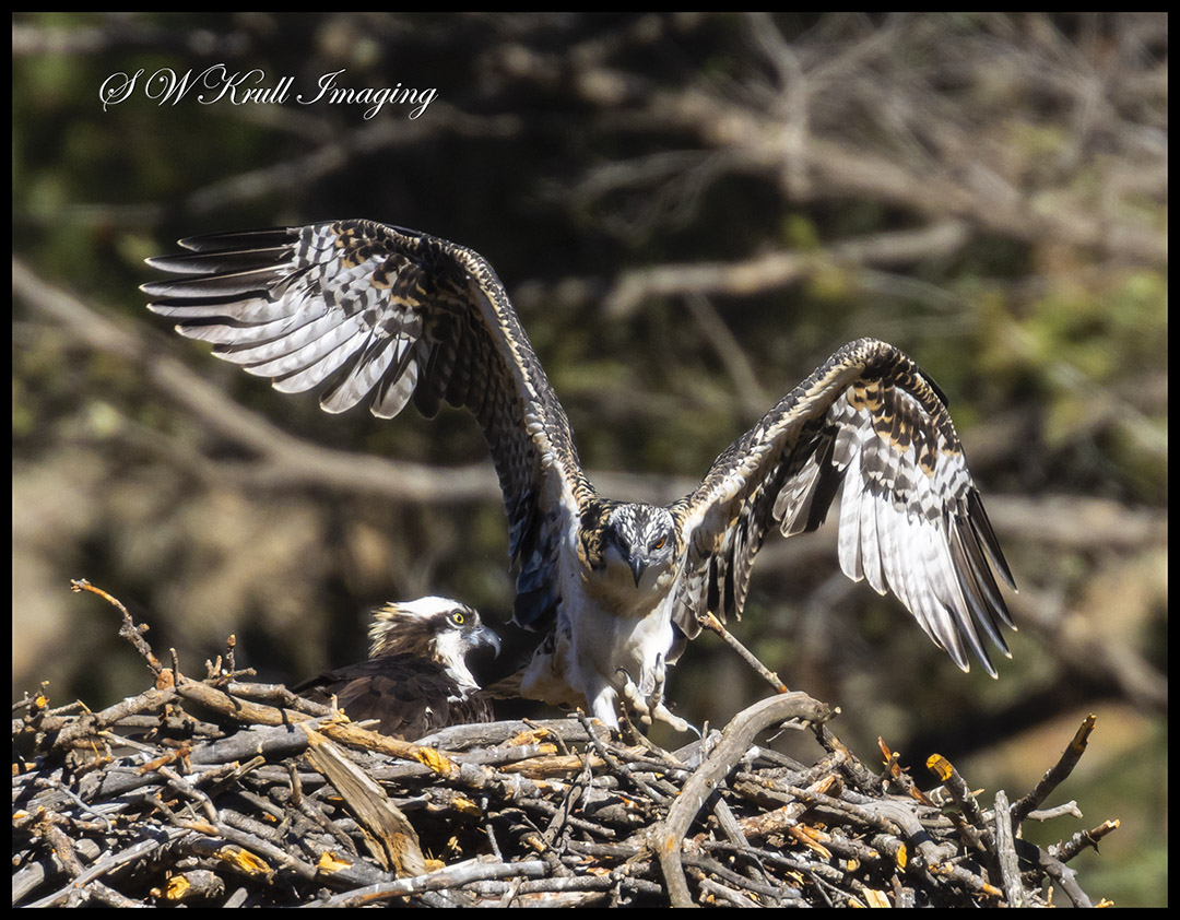 Osprey Learning to Fly