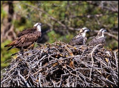 Osprey Family on the Nest