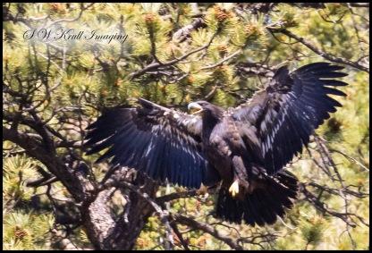 Bald Eagle Fledgling