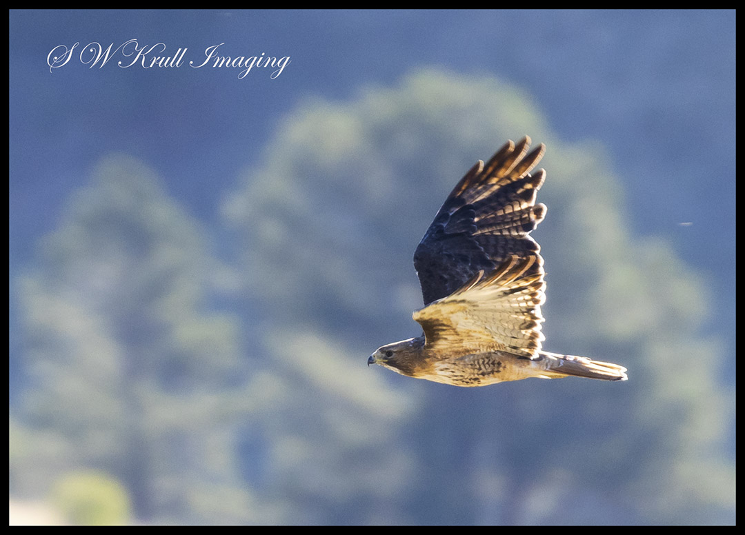 Rough Legged Hawk in the Rockies