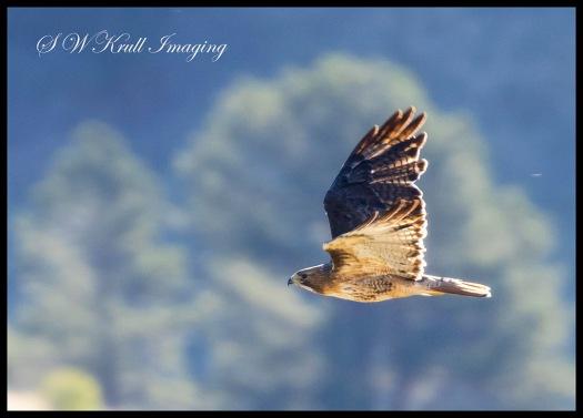 Rough Legged Hawk in the Rockies