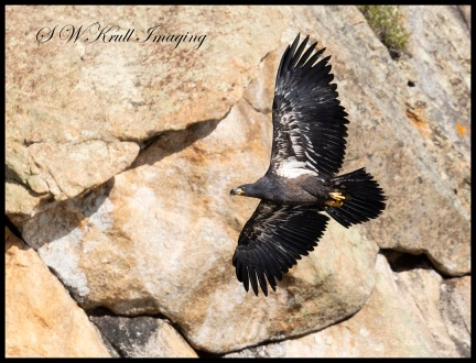 Young bald eagle soaring past the cliffs