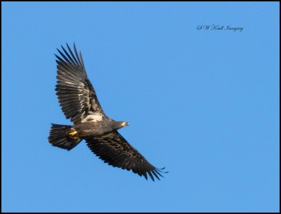Bald Eagle Fledgling Soaring