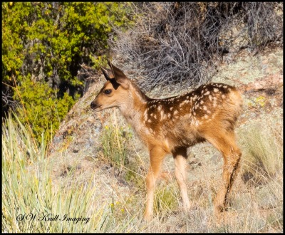 Fawn Mule Deer at Eleven Mile Canyon