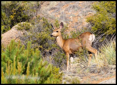 Mule Deer at Eleven Mile