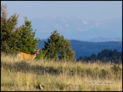 Lone Doe in the Pike National Forest
