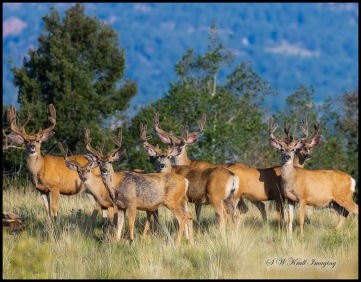 Band of Brothers Mule Deer Bucks