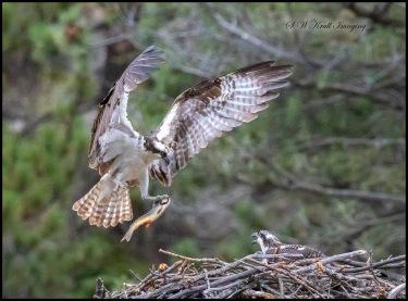 Osprey Gathering